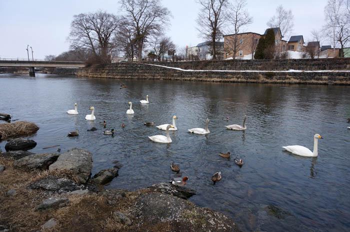 千歳川と白鳥