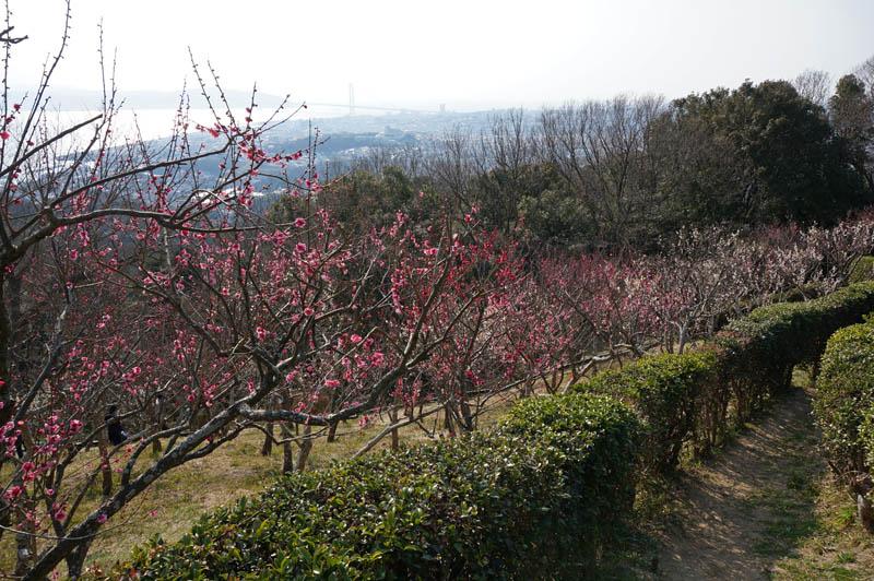 須磨浦山上遊園梅林