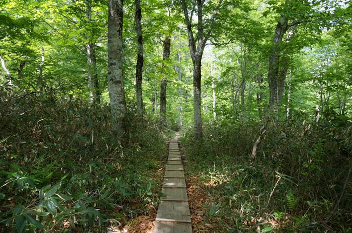 尾瀬の原生林