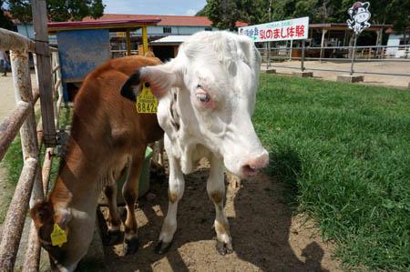 淡路島牧場の子牛
