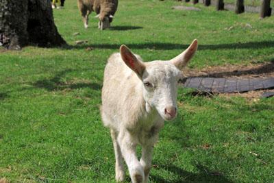 蓼科ふれあい牧場の子ヤギ