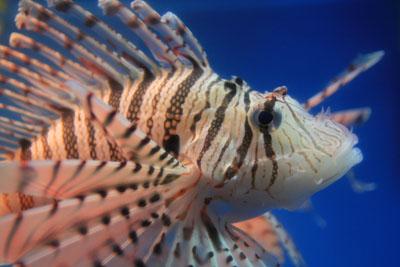 桂浜水族館カサゴ