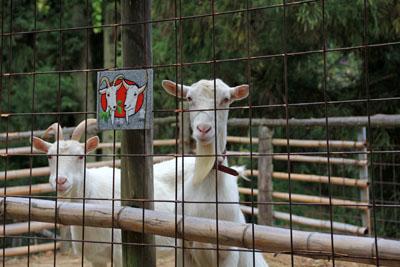 カレイ山展望台ヤギの親子