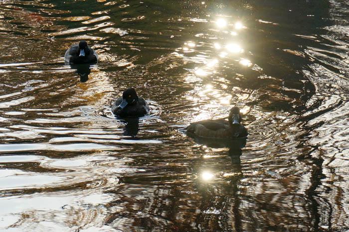 武蔵関公園富士見池の水鳥