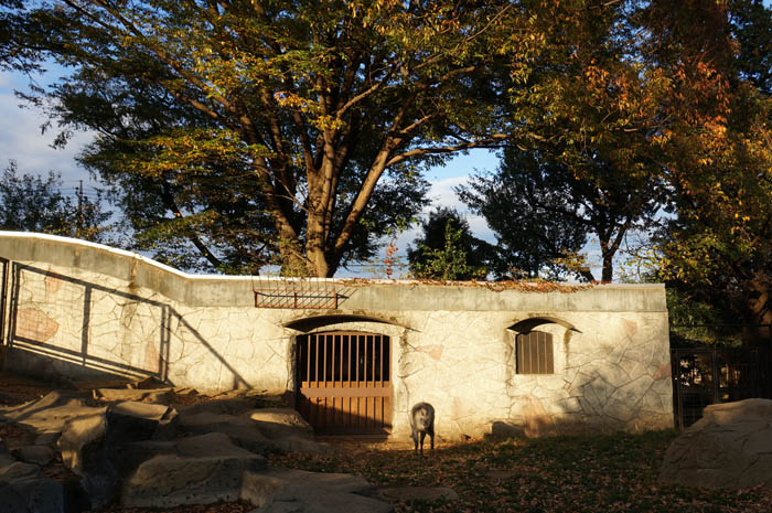 井の頭自然文化園カモシカ