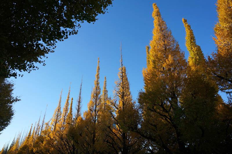 明治神宮外苑銀杏並木紅葉