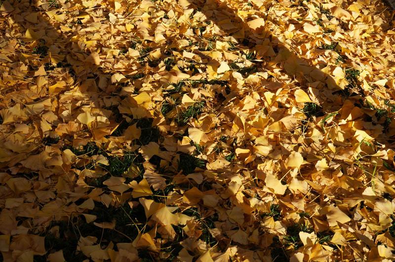 明治神宮外苑銀杏並木道