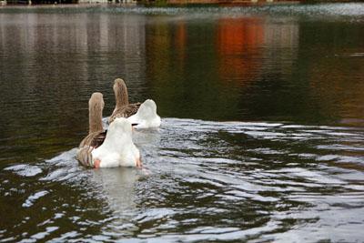 金鱗湖で泳ぐ水鳥