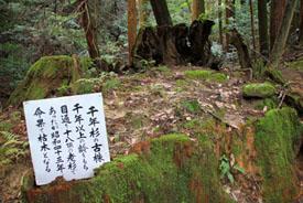 西山興隆寺千年杉