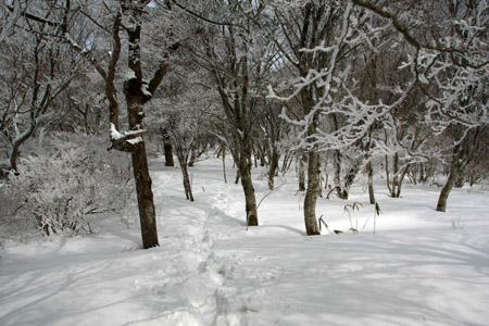 皿ヶ嶺の霧氷の森