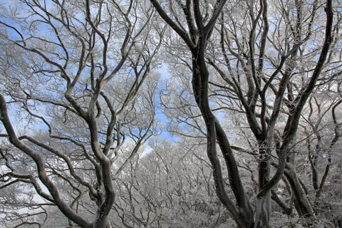 ブナの原生林の霧氷