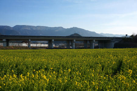 見奈良菜の花畑