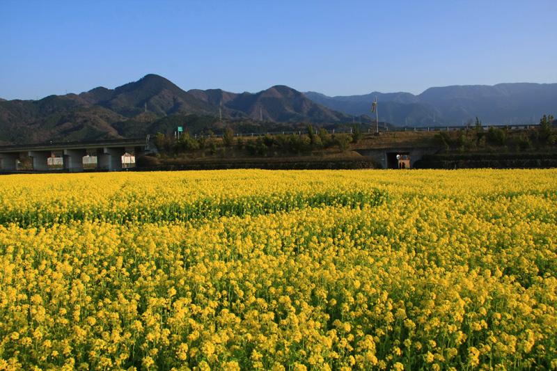 見奈良の菜の花畑と松山自動車道