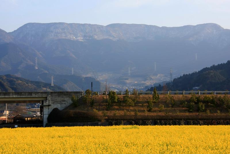 見奈良の菜の花畑と雪の皿ヶ嶺
