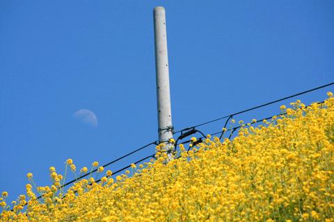 予讃線の菜の花