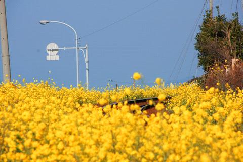 菜の花の予讃線
