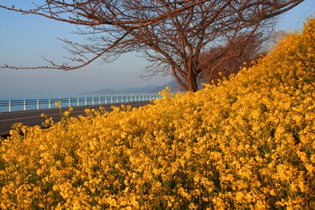 夕方の海と菜の花畑