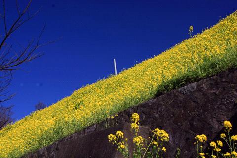 夕やけこやけライン菜の花畑