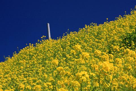 予讃線菜の花畑