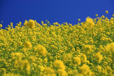 双海町菜の花畑