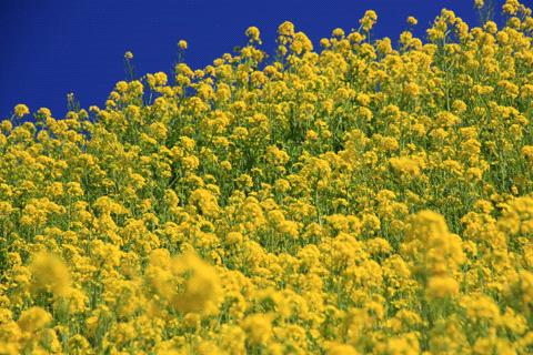 ふたみの菜の花畑