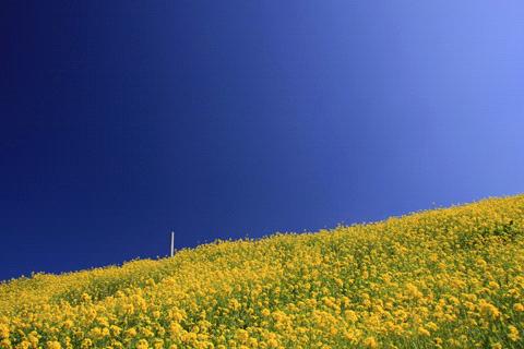 伊予灘線の菜の花畑