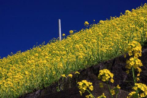 予讃線の菜の花畑