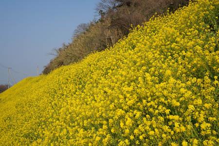 閏住の菜の花畑