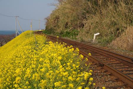 閏住の菜の花畑と予讃線