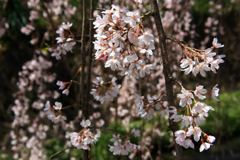 内子枝下桜