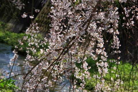 内子町郷之谷川枝下桜