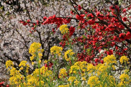 桜、梅、菜の花の競演