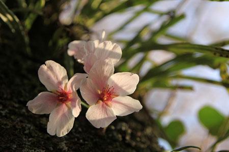 知清公園の桜