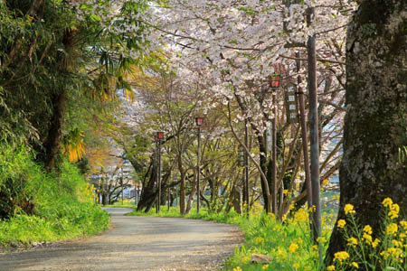 知清公園のお花見