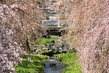 郷之谷川の枝垂れ桜