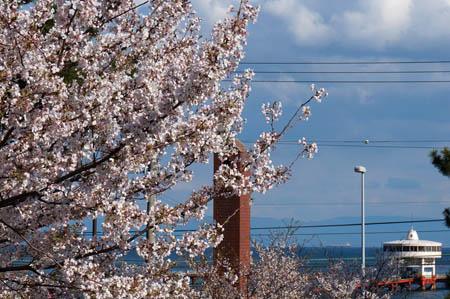 須磨海釣り公園と桜