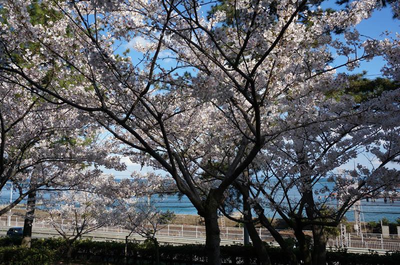 須磨浦公園の桜と海
