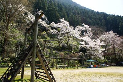 石鎚ふれあいの里キャンプ場の桜
