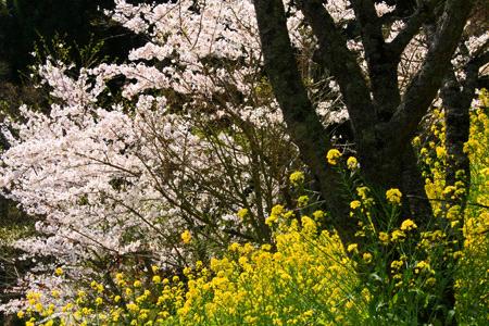 石畳清流園の桜と菜の花