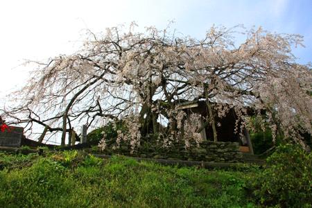 石畳東のしだれ桜