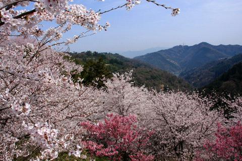 谷上山の桜と大谷池