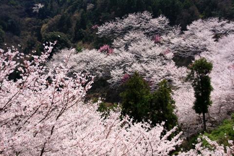 谷上山の桜