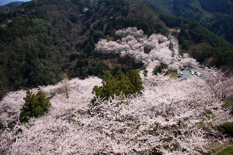 桜の谷上山公園