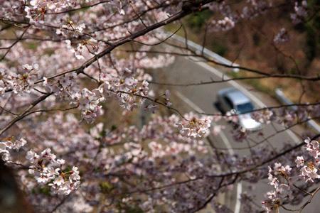 谷上山公園の桜