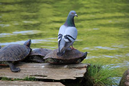 猿沢池の亀と鳩