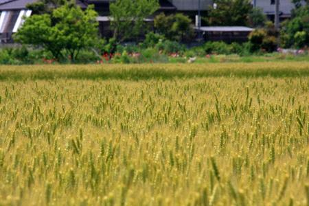 讃岐の麦畑