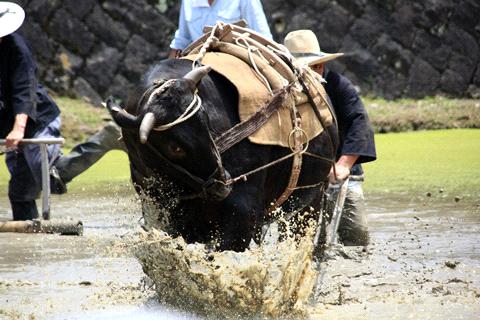どろんこ祭り牛の代かき
