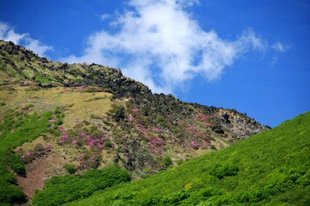 火山に咲くミヤマキリシマ