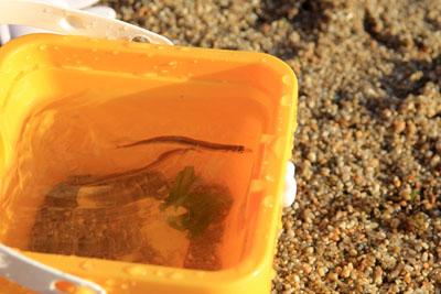 風早長浜海岸で魚とり