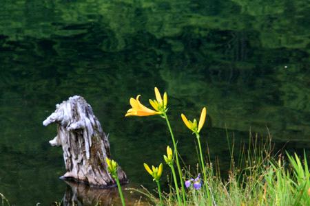 木戸池ニッコウキスゲ